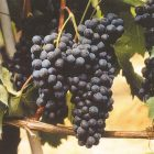 vitigno Vespolina