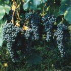vitigno Nebbiolo