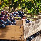 Controllo maturazione uve