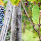 consulenza viticola