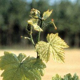 vitigno Brachetto