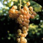 vitigno Erbaluce