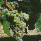 vitigno albarola clone CVT 3