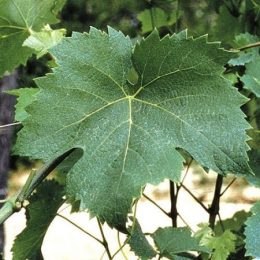 vitigno arneis