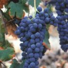 vitigno Freisa