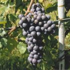 vitigno Pelaverga