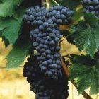 vitigno Malvasia
