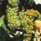 vitigno Moscato bianco