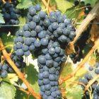 vitigno Ruché
