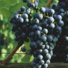 vitigno Uva rara