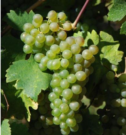 bian-ver-vitigno
